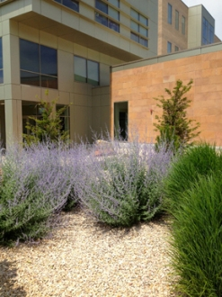 Drought-tolerant plants, including Russian Sage, can be viewed outside the Carolyn Tanner Irish Humanities Building.