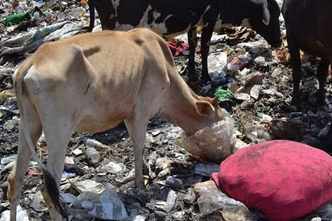 Cows in the landfill site