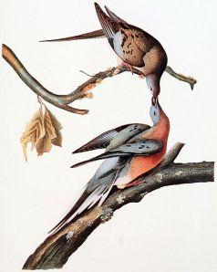 An Audubon painting of the passenger pigeon.