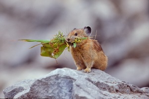 """Pika Gathering Vegetation for Haystack"" in Little Cottonwood Canyon by John P. George"