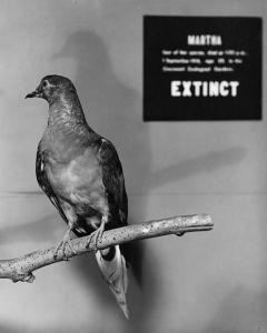Martha, the last passenger pigeon, died in 1914.