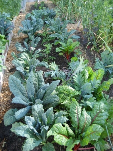 A veritable forest of kale and chard bursts out of the well-tilled earth at the Pioneer Gardens during the height of this year's growing season.