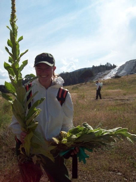 The author with a wooly mullein (Verbascum thapsus)  she pulled in northern Yellowstone, near Mammoth Hot Springs.