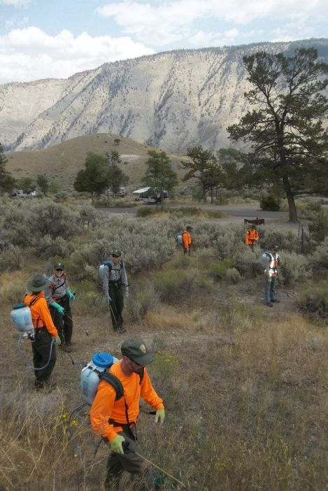 A resource management crew searches out invasive spotted knapweed, houndstongue, and white top plants, above Mammoth Campground in Yellowstone National Park.
