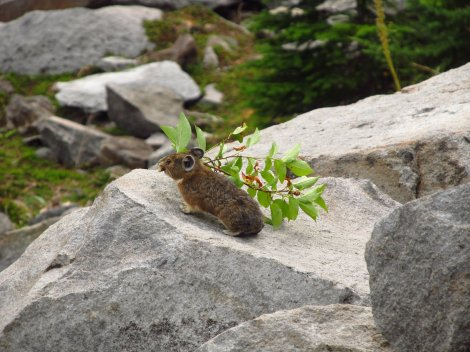 American pika. Photo: Joanna Varner