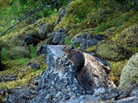 American pika Photo: Johanna Varner