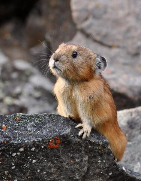 American pika.  photo: pixdaus.com