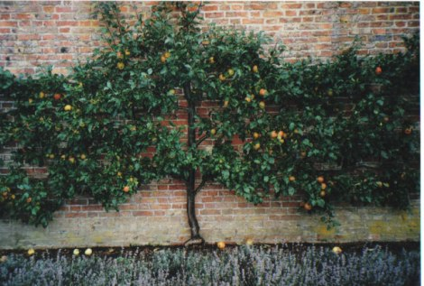 Apple espalier: Wouldn't this be cool at the Sill Center?
