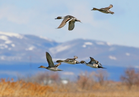 Birds in flight at the Bear River Migratory Bird Refuge on the Great Salt Lake.  Photo: Bear River Migratory Bird Refuge, fws.gov