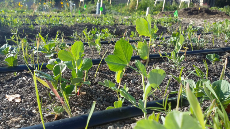 Swing by the campus gardens to check out the nitrogen nodules on these cowpeas!
