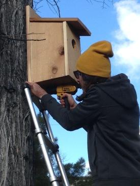 Biology student installs nesting box to monitor kestrel behavior this spring.