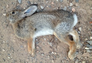 Dead rabbit at the bottom of Dry Creek Canyon, accompanied by blowflies who also found its dead body.