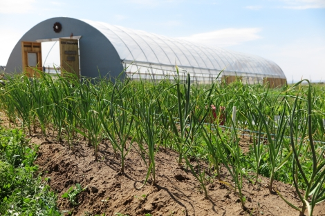Rows of growing garlic with a long hoop house in the background