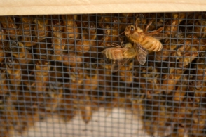 Bees wait for installation into the hives at the Marriott Library.