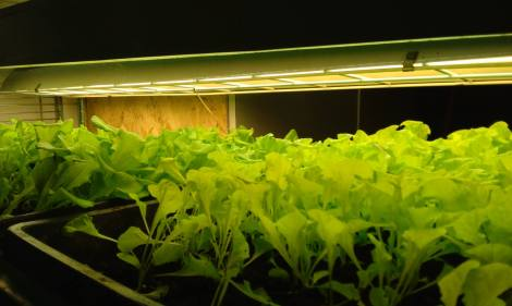 Our lettuce thriving during the spring temperatures in the biology greenhouse.