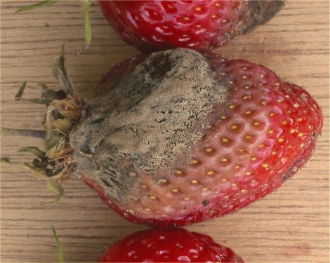 Strawberry partially covered with a brown mound of mold.