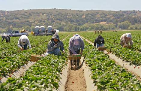 Workers harvesting strawberrys in Salinas, CA.